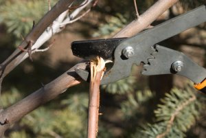 prune broken branch