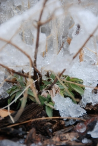 agastache under ice