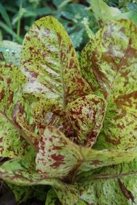 freckles lettuce