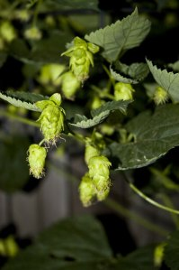 young hops