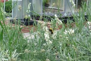Big honkin' bumblebee