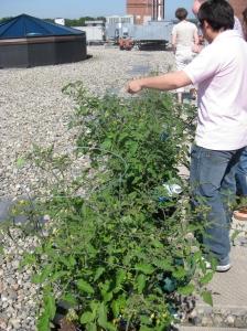 HBP tomato plants