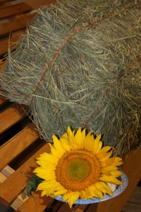 Sunflower and straw