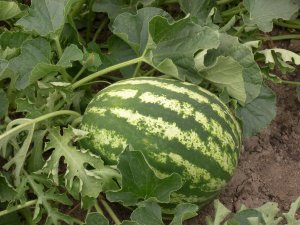 mature watermelon