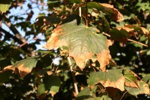 maple scorch