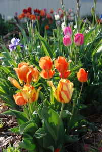 Bulbs for spring color