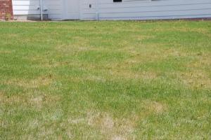 Thin yellow lawn