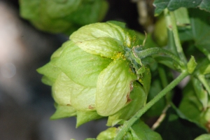 Yellow Lupulin on hop