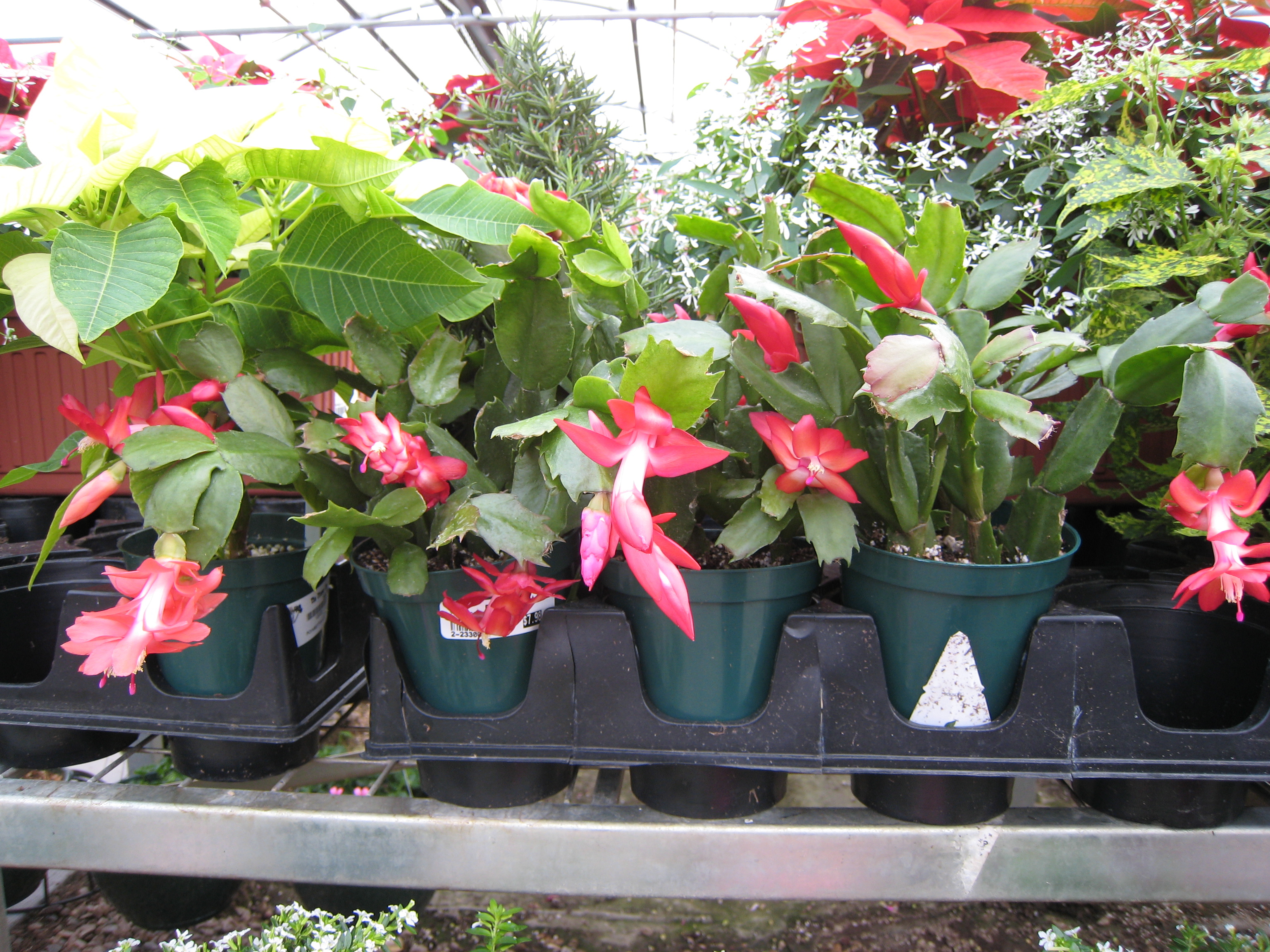 Christmas Cactus Gardening After Five