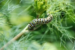 Parsleyworm