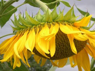 how to do the sunflower grow on arm