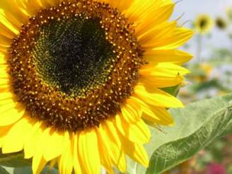 Image result for sunflower seed