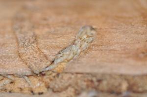 Tetrastichus planipennisi  pupae